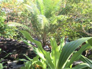 シミラン諸島の植物たち