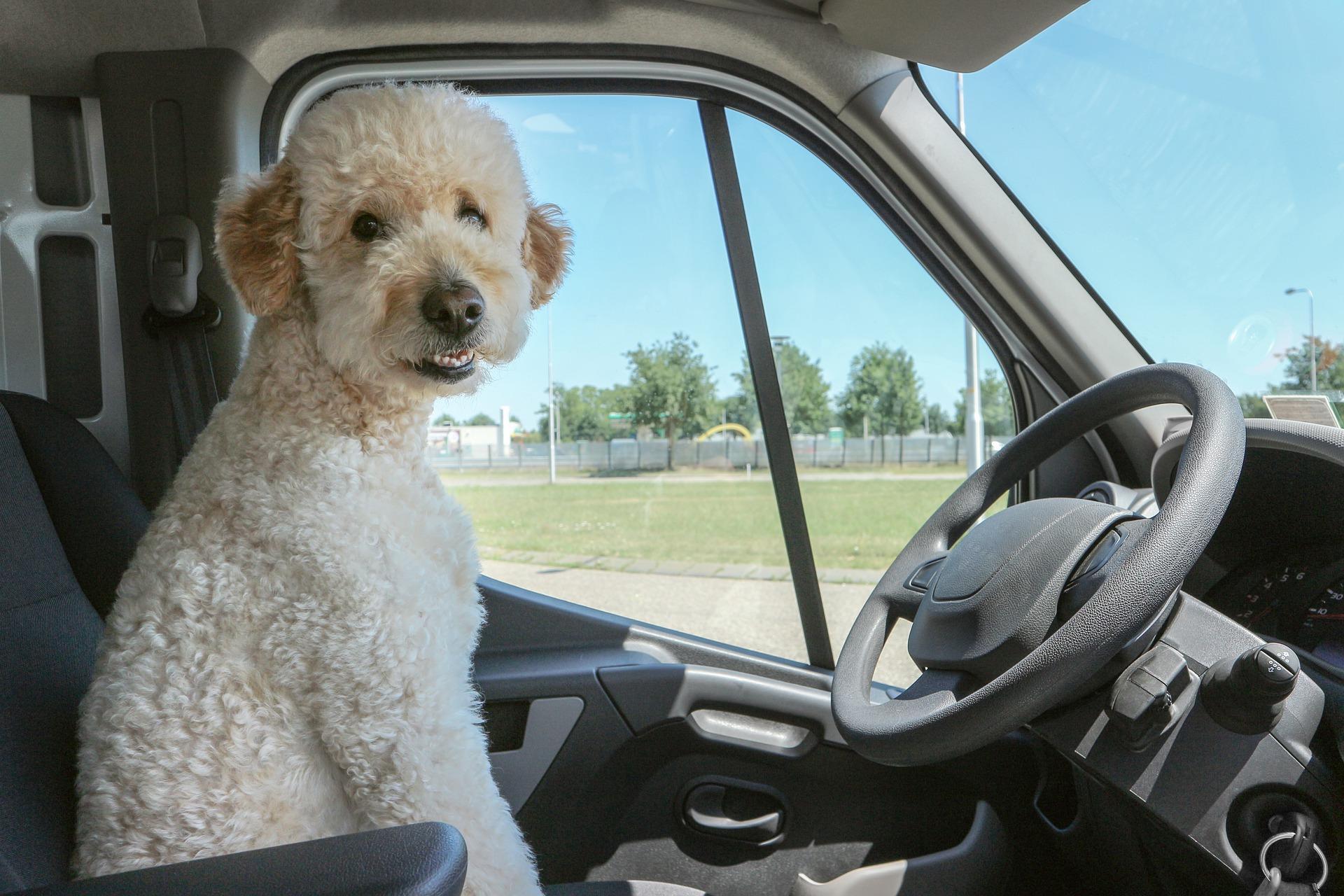 車の中にいる犬