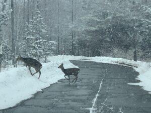 道路を横切る鹿