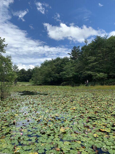 睡蓮がひしめき合う池