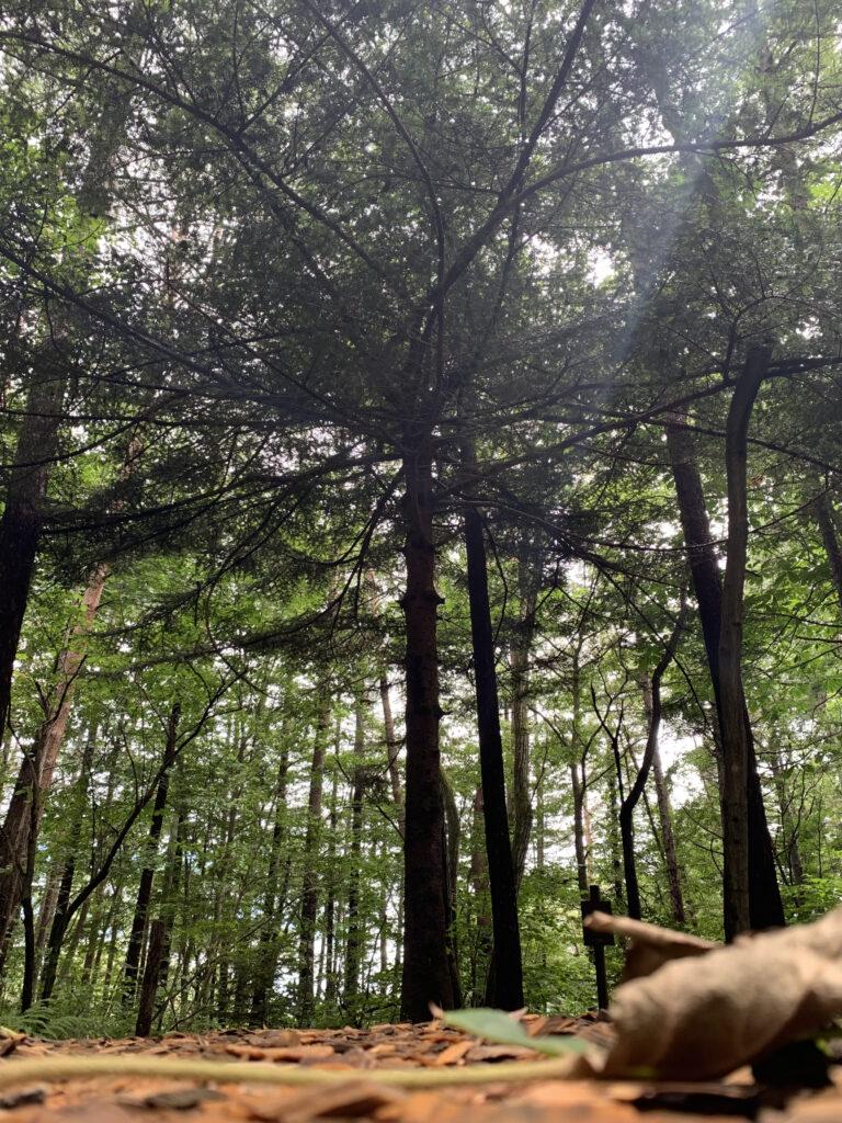 傘のように枝葉の広がったモミの木